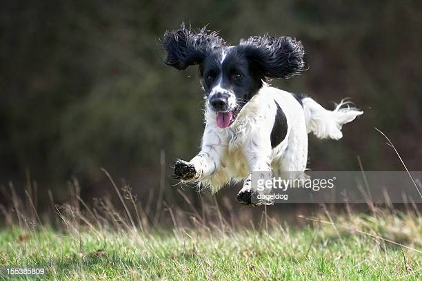 happiness! - springer spaniel stock pictures, royalty-free photos & images