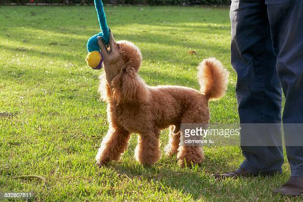 A Happiness Red Poodle