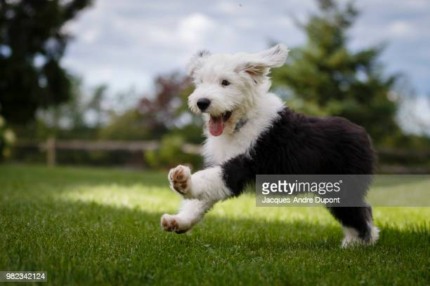 happpyyy - old english sheepdog stock pictures, royalty-free photos & images