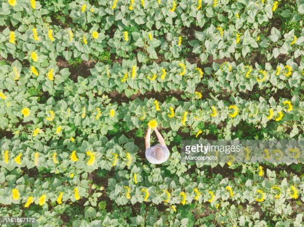 happy adult farmer inspecting plants at his abundant agricultural field of yellow sunflowers. aerial view. - abundance stock pictures, royalty-free photos & images