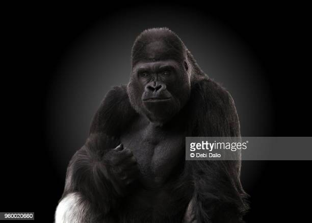 happy adult male gorilla - gorilla stock pictures, royalty-free photos & images