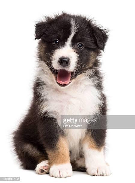 Happy Australian Shepherd puppy sitting