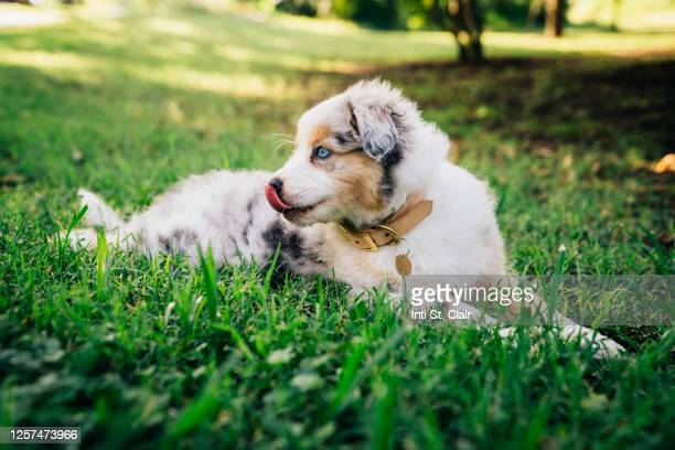 happy australian shepherd sitting in the grass in a park - australian shepherd puppies stock pictures, royalty-free photos & images