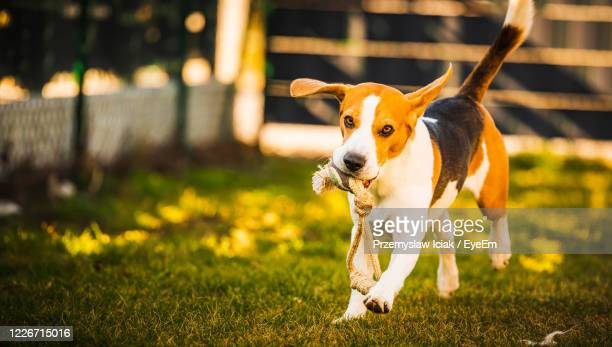 happy beagle dog in backyard runs and hops jocularly with the toy towards camera. pets in garden. - ビーグル ストックフォトと画像