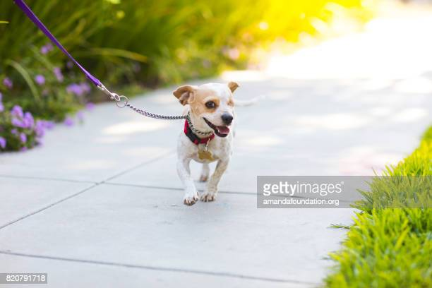 Happy Beagle on a Sidewalk - The Amanda Collection