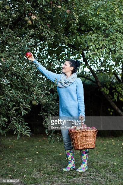 Happy Beautiful Woman Picking Apple From Tree At Basket At Orchard