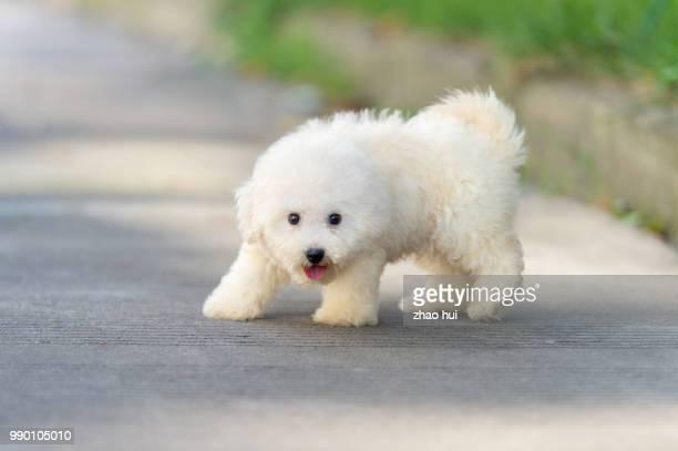 Happy Bichon puppy