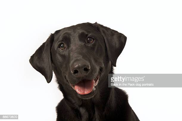 Happy black lab dog head tilted and smiling