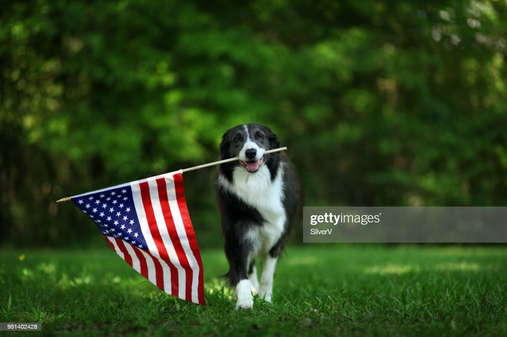 Happy border collie carrying USA flag : Stock Photo
