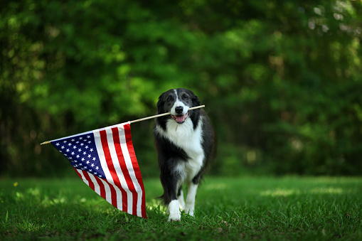 Happy border collie carrying USA flag 951402428