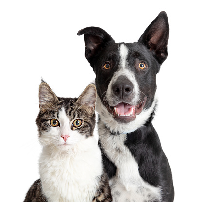 Happy Border Collie Dog and Tabby Cat Together Closeup 1138523235