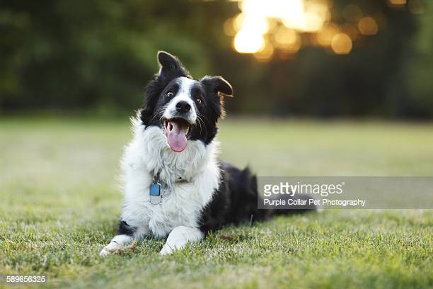 Happy border collie dog outdoors