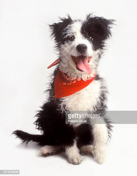A happy Border Collie, eager to please