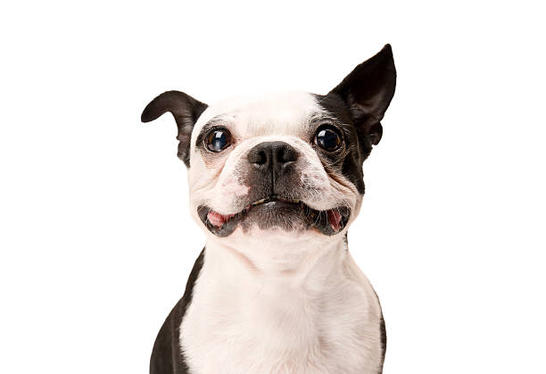 Free smiling dog images pictures and royalty free stock photos happy boston terrier dog on white background voltagebd Gallery
