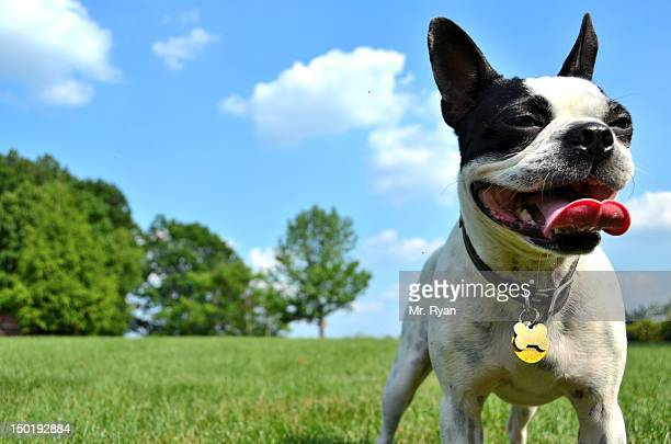 Happy Boston Terrier dog