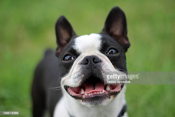 happy boston terrier face - boston terrier stock photos and pictures