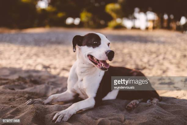 Happy brown and white dog relaxing on beach in summer