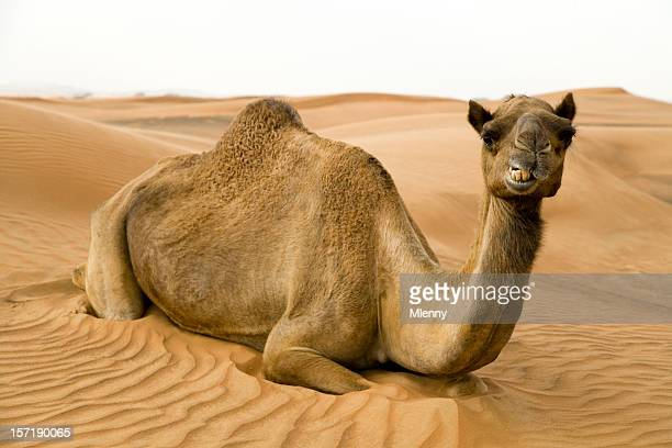 happy camel - camel stock pictures, royalty-free photos & images