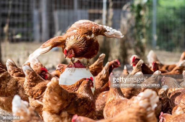 happy chickens on a organic farm with alpha leader hen