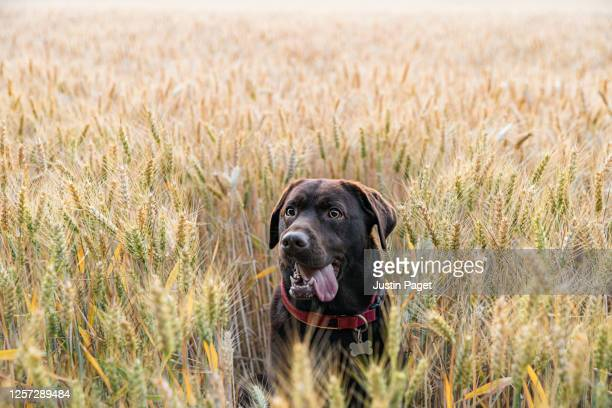 happy chocolate labrador in field - rural scene stock pictures, royalty-free photos & images