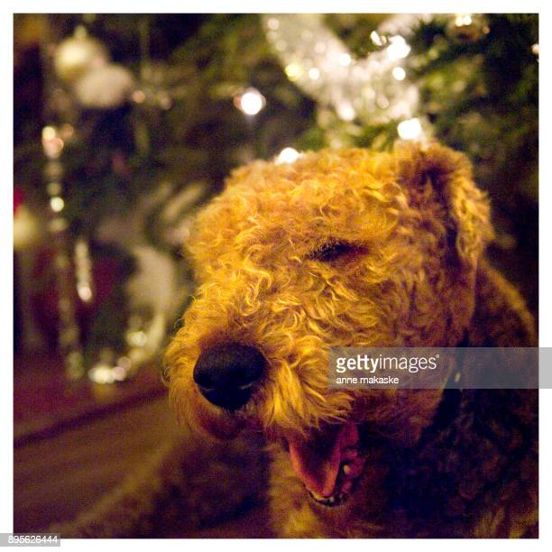Happy Christmas Airedale