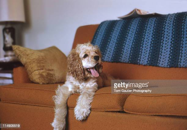Happy cocker spaniel sitting on couch