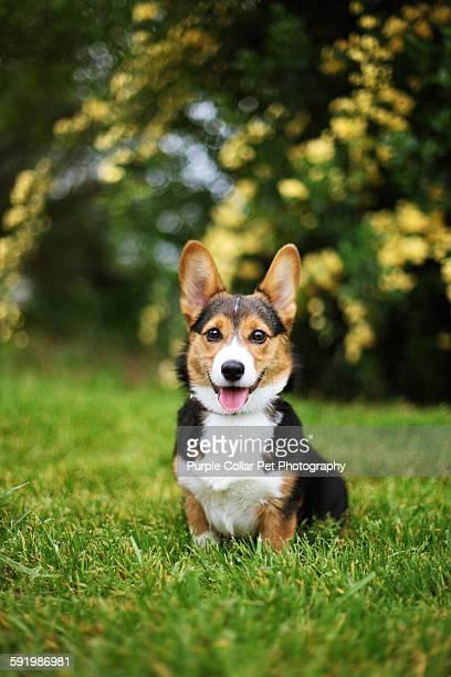 Happy corgi puppy outdoors