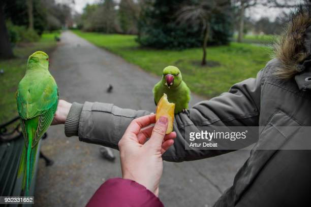 Happy couple feeding green parrots in the Hyde park of London during travel vacations.