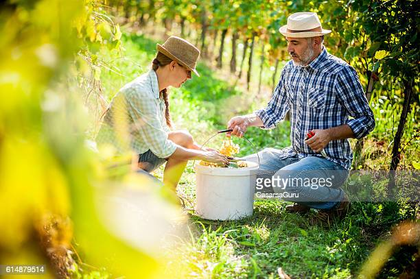 Happy Couple Harvesting Grapes