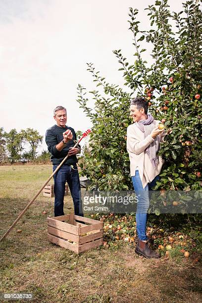 Happy couple picking apples from tree in orchard