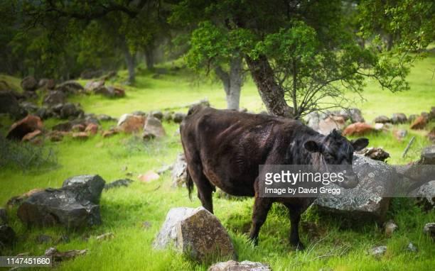 happy cow - マーセド郡 ストックフォトと画像