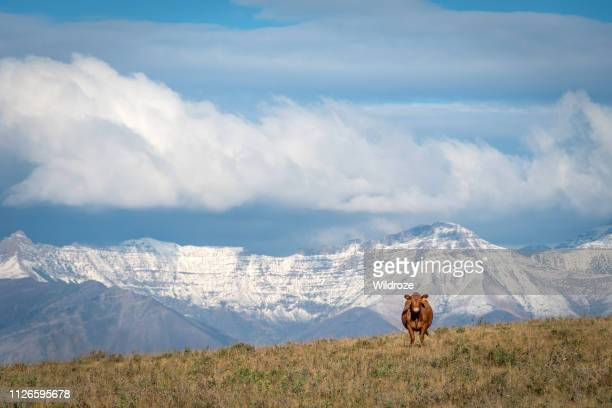 happy cow with mountain view, southern alberta, canada - foothills stock pictures, royalty-free photos & images