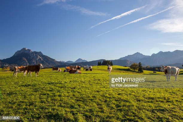 Happy cows on mountain meadow