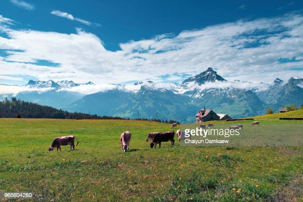 happy cows on the farm in switzerland - swiss culture stock pictures, royalty-free photos & images
