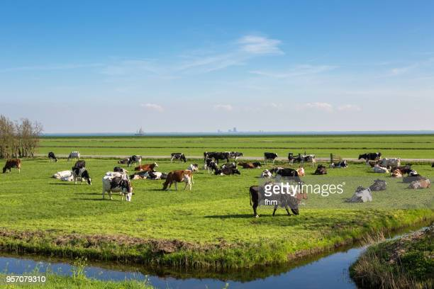 happy cows on the field - noord holland stockfoto's en -beelden