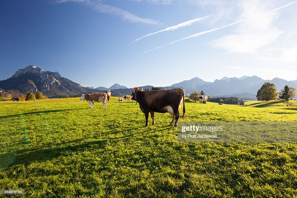 Happy cows : Stock-Foto