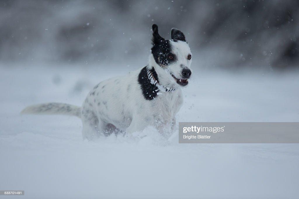 Happy crossbreed dog running in snow, Switzerland : Foto stock