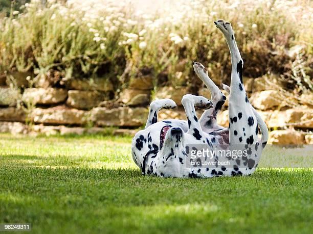 Happy Dalmatian Dog on Lawn