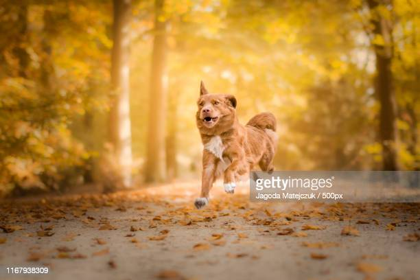 happy days - nova scotia duck tolling retriever stock pictures, royalty-free photos & images