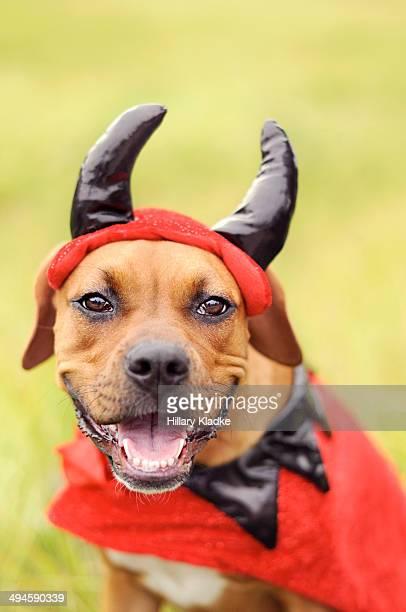 happy devil boxer dog - devil costume stock photos and pictures