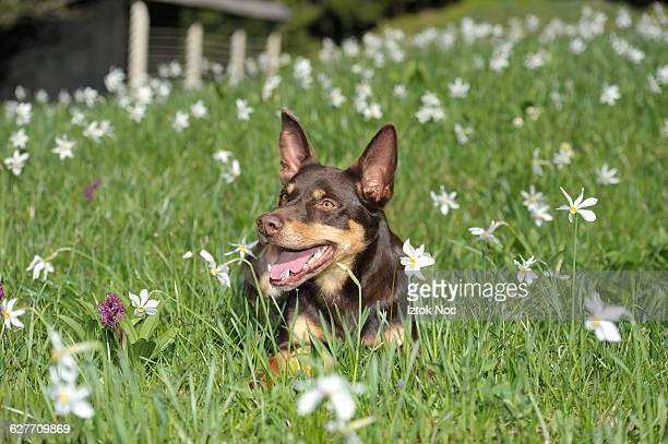happy dog australian kelpie - オーストラリアンケルピー ストックフォトと画像