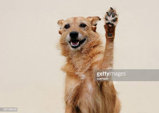 High five from a cute scruffy dog with a big smile! Cream wall background, shallow depth of field. Clever dog, the Bailey lightbox