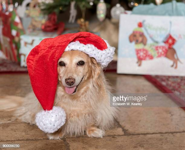 happy dog in front of christmas tree - dachshund christmas stock pictures, royalty-free photos & images