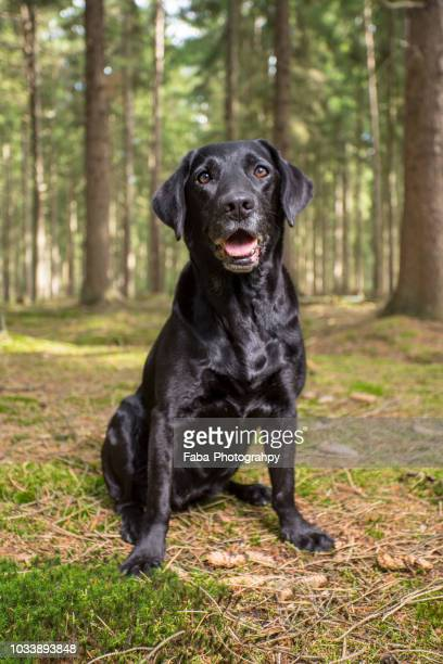 happy dog in the woods - black labrador stock pictures, royalty-free photos & images