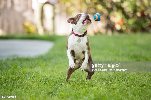 Happy Dog Jumping for Ball in Backyard Outdoors
