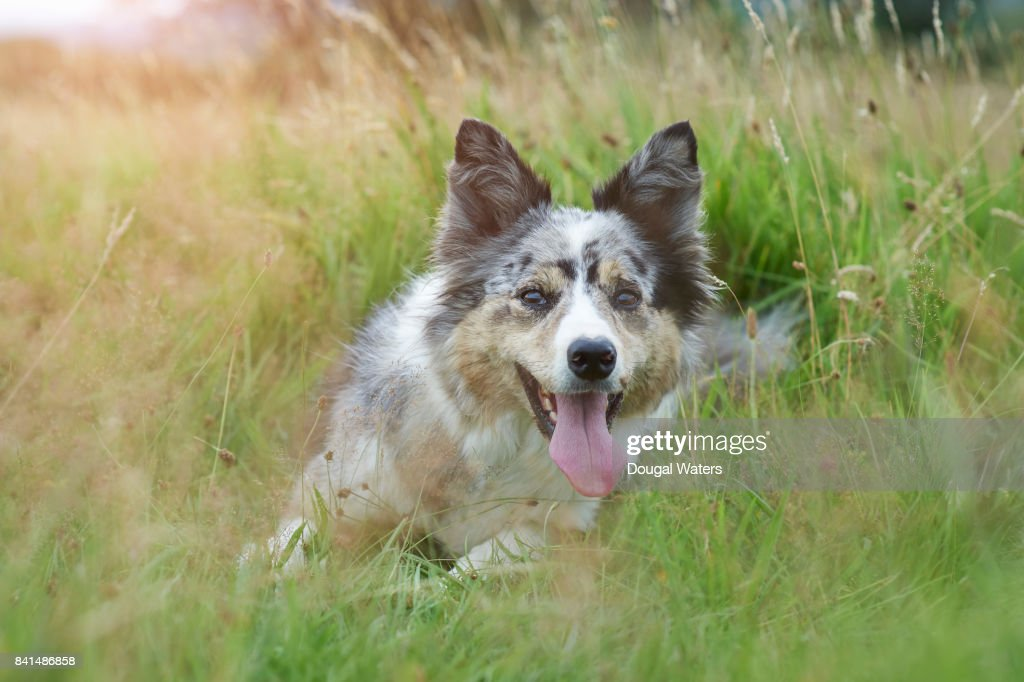 Happy dog laying down in Summer meadow. : Stock Photo