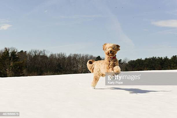 happy dog leaps through the snow - goldendoodle stock photos and pictures