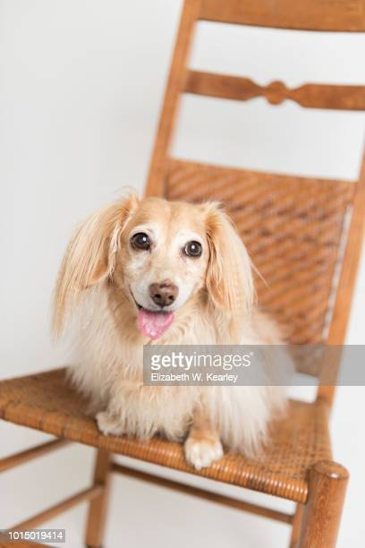 happy dog on chair - long haired dachshund stock photos and pictures