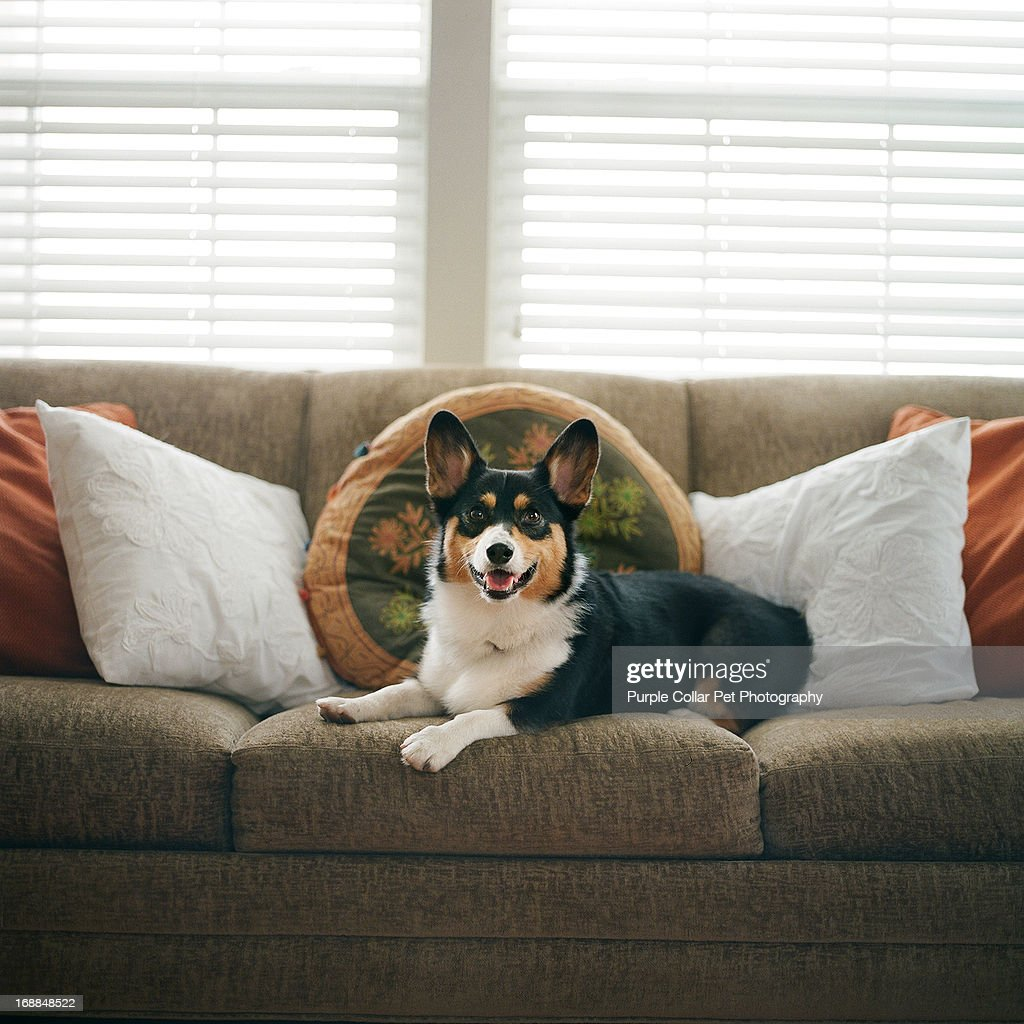 Happy Dog on Couch : Stock Photo
