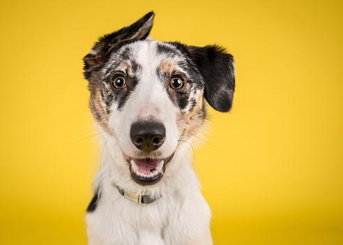 Happy Dog on Yellow Background 1031307536